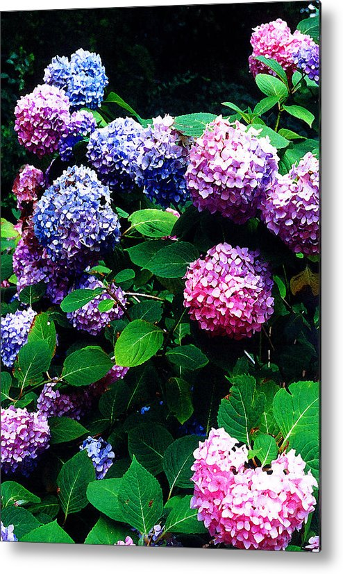 Flowers Metal Print featuring the photograph Hydrangeas by Nancy Mueller