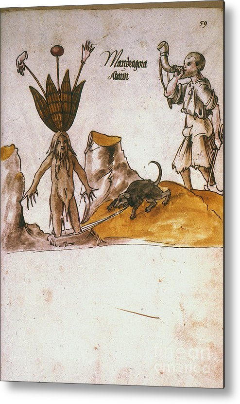 1500 Metal Print featuring the photograph Mandrake, C1500 by Granger