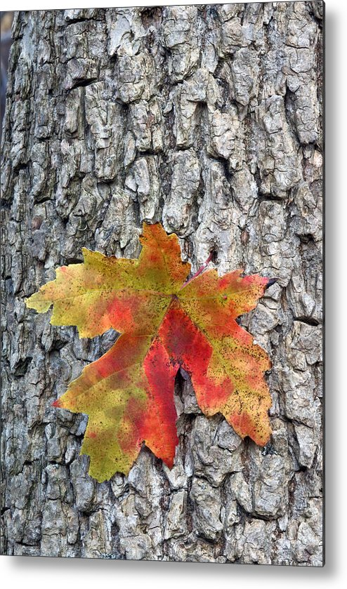 Fall Metal Print featuring the photograph Maple Leaf On A Maple Tree by Andreas Freund