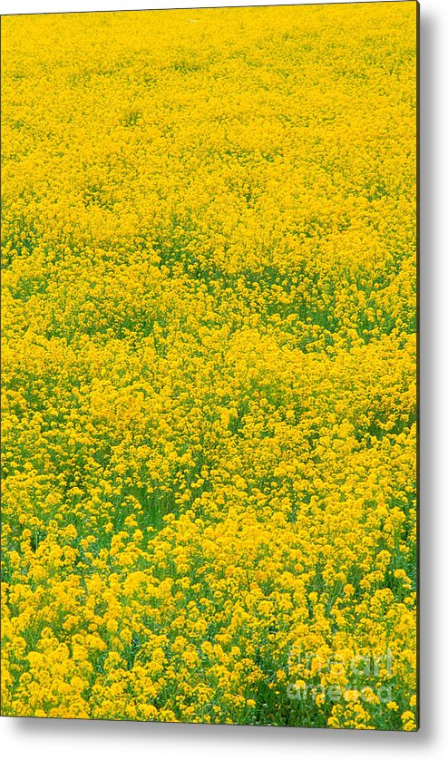 Bloom Metal Print featuring the photograph Mustard Flowers by Greg Vaughn - Printscapes