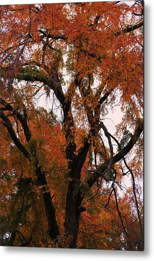Tree Metal Print featuring the photograph Old Timer by Trudi Southerland