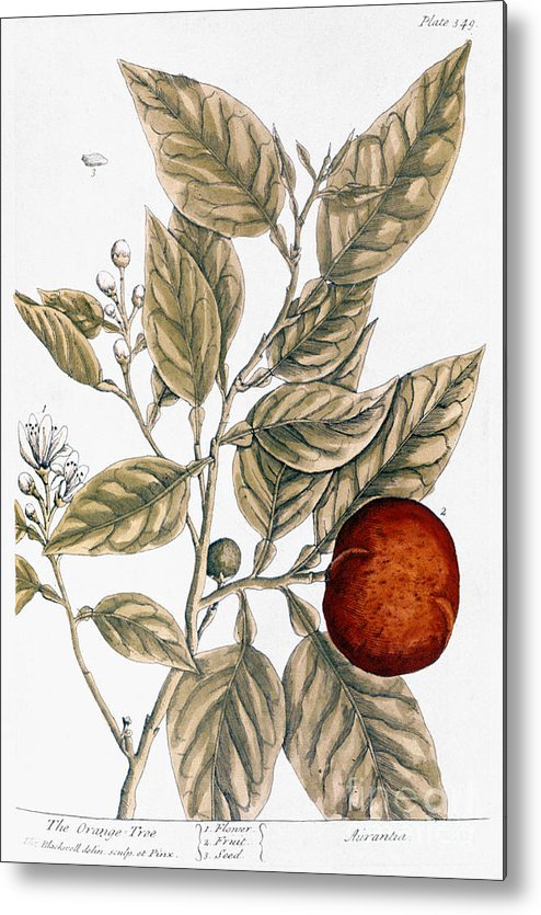 1730s Metal Print featuring the photograph Orange Tree, 1735 by Granger