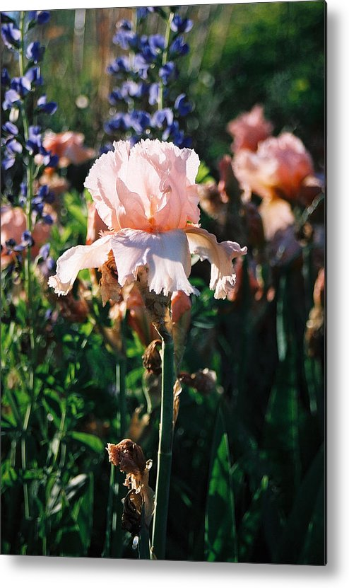 Flower Metal Print featuring the photograph Peach Iris by Steve Karol