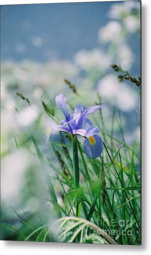 Periwinkle Metal Print featuring the photograph Periwinkle Iris by Nadine Rippelmeyer