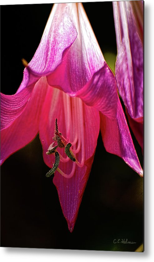 Flower Metal Print featuring the photograph Pink Aglow by Christopher Holmes