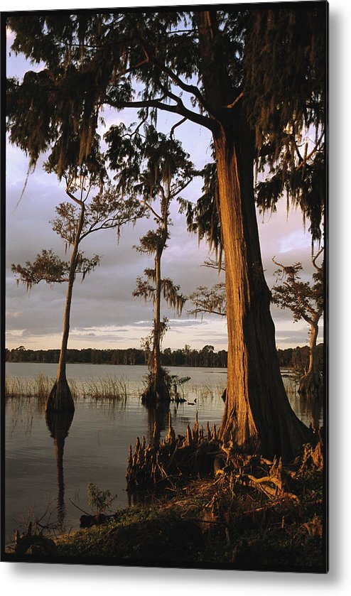North America Metal Print featuring the photograph Plantation Gardens, Cypress Trees by Richard Nowitz