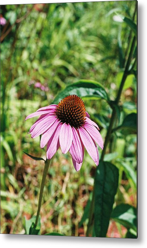 Flower Metal Print featuring the photograph Purple Coneflower by Cheryl Martin