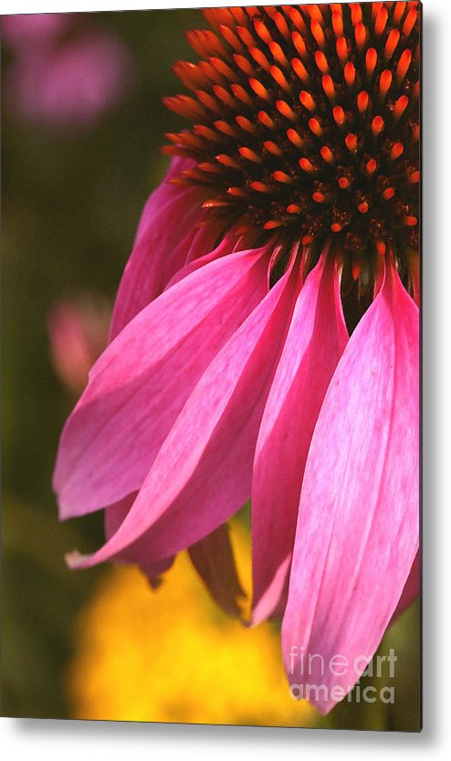 Coneflower Metal Print featuring the photograph Purple Coneflower Close-up by Steve Augustin