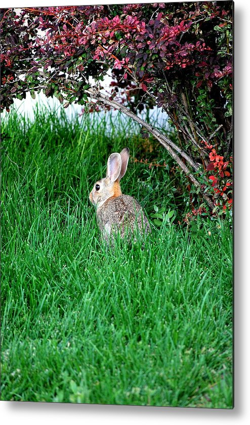 Rabbit Metal Print featuring the photograph Rabbit Sitting Outdoors. by Oscar Williams