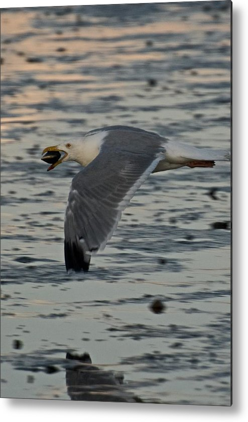 Seagull Metal Print featuring the photograph Seagull Cracking Open A Clam by Gene Sizemore