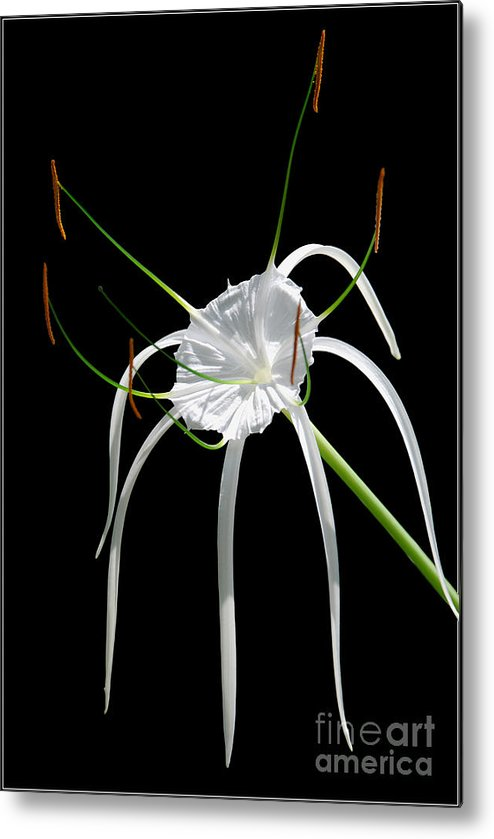 Photograpny White Flower Black Green Metal Print featuring the photograph White Flower by Ty Lee