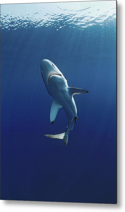 Animal Themes Metal Print featuring the photograph Oceanic Blacktip Shark by Jeff Rotman