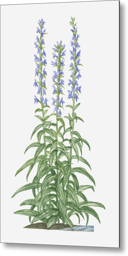 Illustration Of Lobelia Siphilitica Great Blue Lobelia Bearing