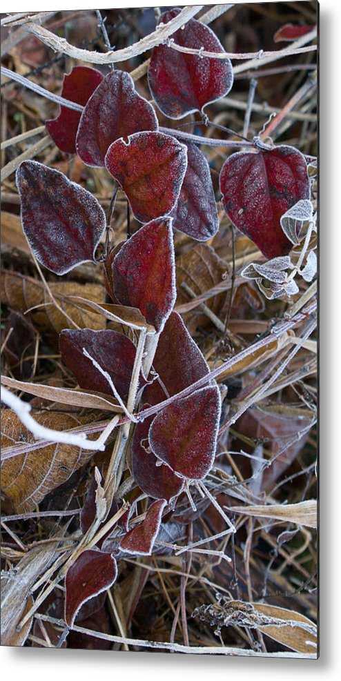 Red Metal Print featuring the photograph Frosted Red Green Briar by Douglas Barnett