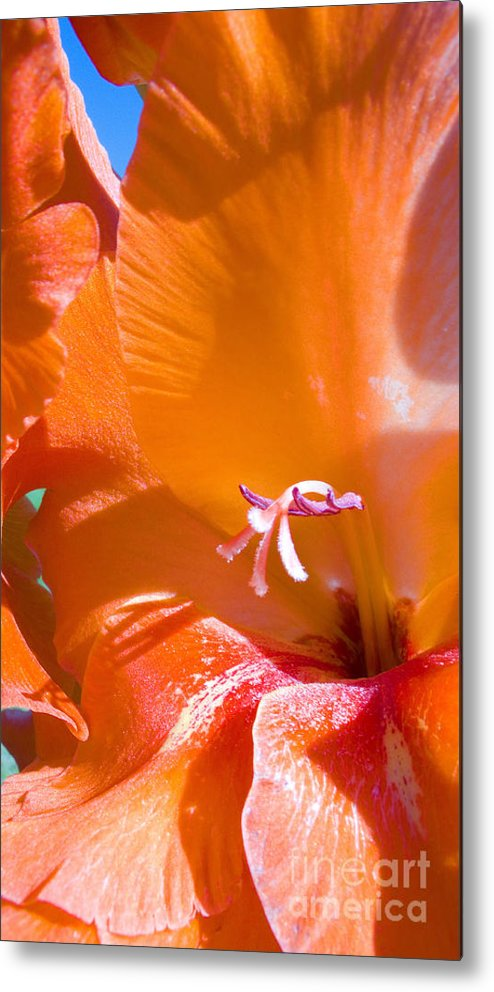 Gladiolus Metal Print featuring the photograph Orange Gladiolus by Thomas R Fletcher