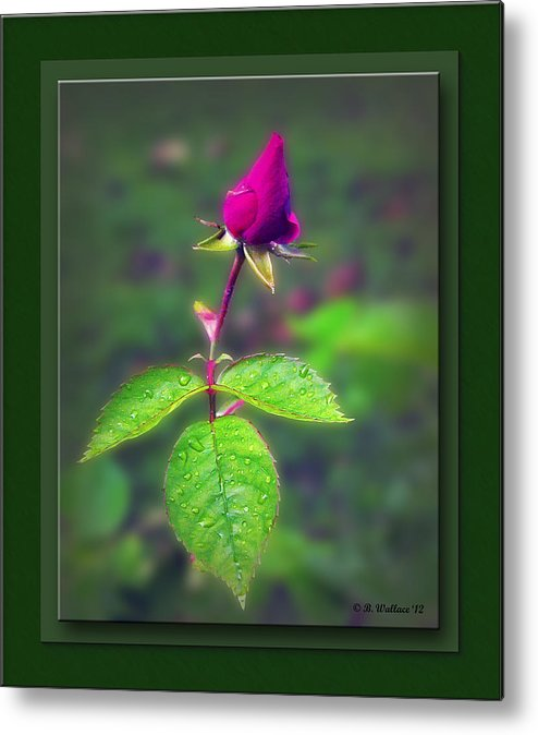 2d Metal Print featuring the photograph Rose Bud by Brian Wallace