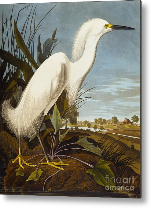 Bird Metal Print featuring the painting Snowy Heron Or White Egret by John James Audubon