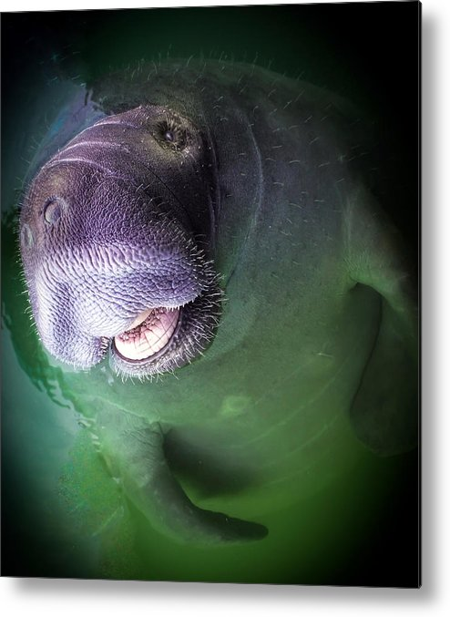Manatees Metal Print featuring the photograph The Happy Manatee by Karen Wiles