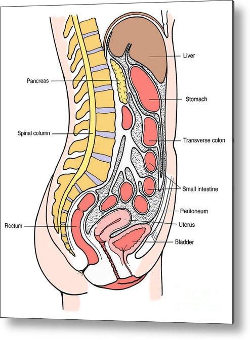 Illustration Of Female Internal Organs Metal Print By Science Source