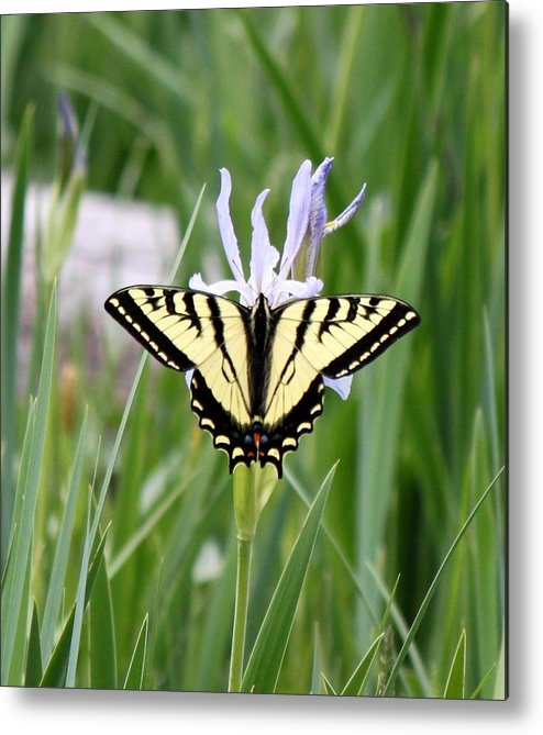 Monarch Butterfly Metal Print featuring the photograph Butterfly On Iris Ser3 by Amara Roberts