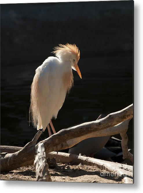 Bird Metal Print featuring the photograph Backlit Egret by Sandra Bronstein