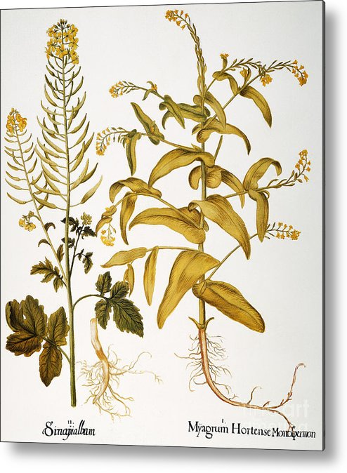 1613 Metal Print featuring the photograph Mustard Plant, 1613 by Granger