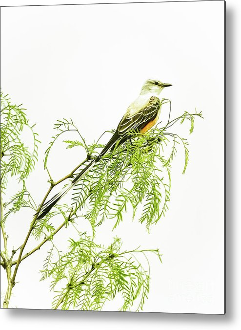 Animal Metal Print featuring the photograph Scissortail On Mesquite by Robert Frederick