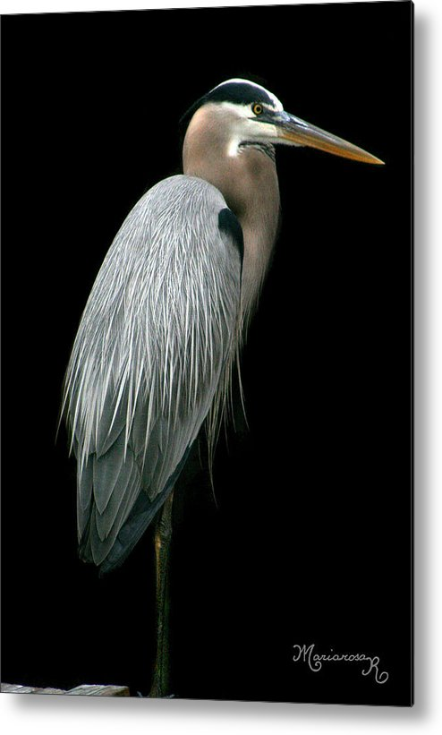 Heron Metal Print featuring the photograph Great Blue Heron by Mariarosa Rockefeller