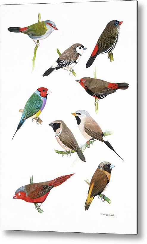 Artwork Metal Print featuring the photograph Australian Estrildid Finches by Natural History Museum, London/science Photo Library