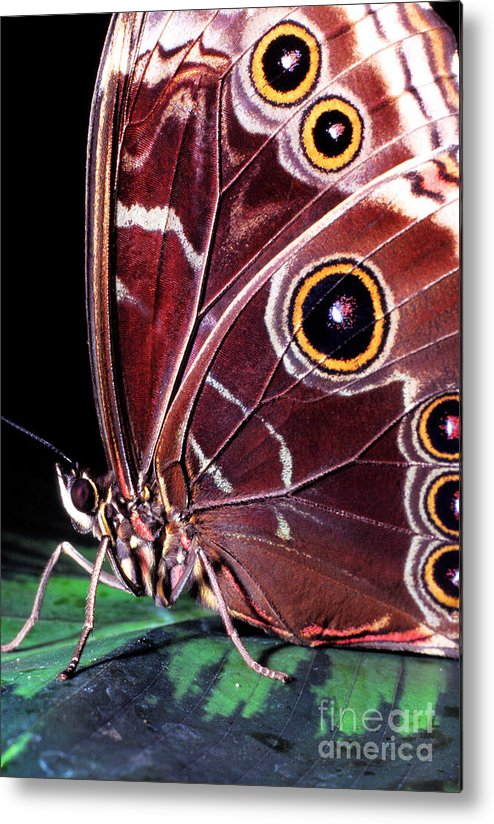 Blue Morpho Metal Print featuring the photograph Blue Morpho Butterfly by Thomas R Fletcher