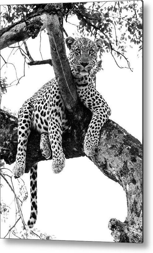 Animal Themes Metal Print featuring the photograph Leopard - Panthera Pardus. Leopard Will by Peter Van Der Byl