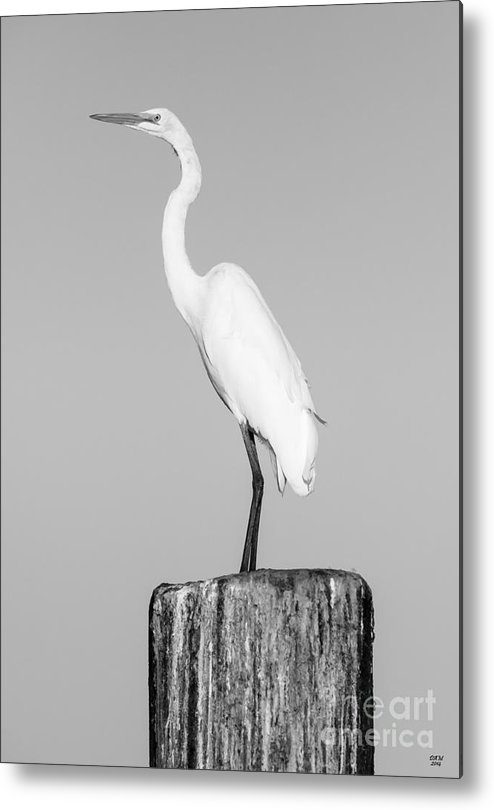 Stork Metal Print featuring the photograph Looking For Fish by David Millenheft
