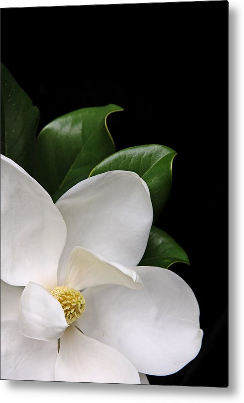 White Magnolia Flower Over A Black Background Metal Print By Kathryn8