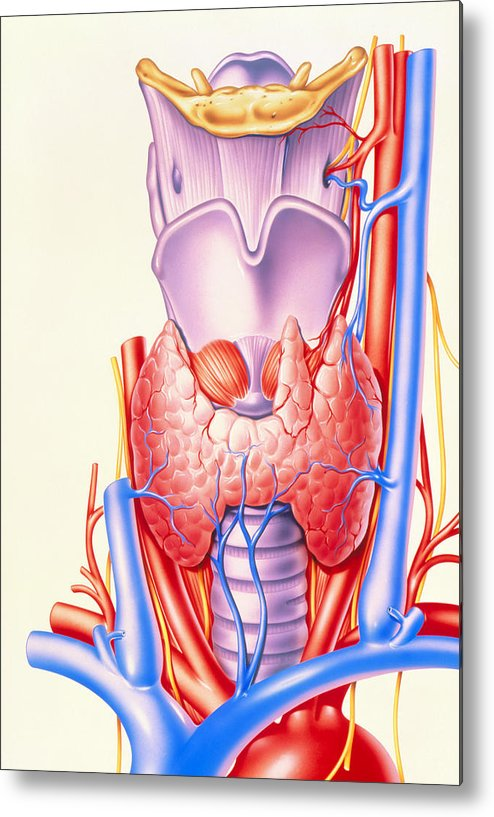 Thyroid Gland Metal Print featuring the photograph Artwork Showing The Thyroid Gland by John Bavosi