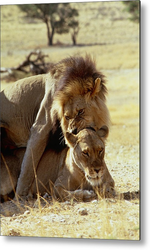 Wildlife Metal Print featuring the photograph Lions Mating by Peter Chadwick