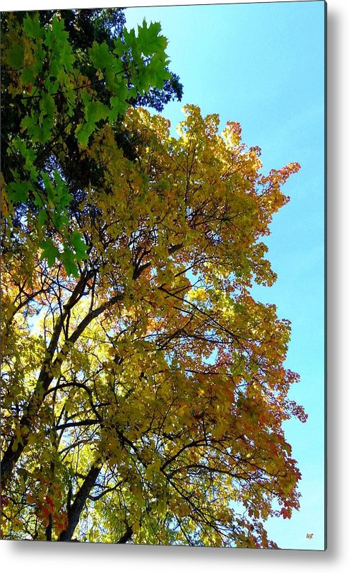 Magnificent Maples Metal Print featuring the photograph Magnificent Maples by Will Borden
