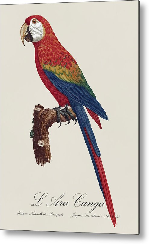 Scarlet;macaw;macaws;parrot;parrots;tropical;amazon;jungle;exotic;south;america;south America;south American;south-america;south-american;colorful;nature;wild;beautiful;birds;wildlife;fauna;animal;feathers;natural;histoire;naturelle;des;perroquets;jacques;barraband;baraband;barraban;natural History;vintage;retro;historic;historical;illustration;drawing;painting;18th Century;19th Century;red;blue;yellow;ara;canga;francois;levaillant;02;2 Metal Print featuring the painting L' Ara Macao / Scarlet Macaw - Restored 19th Century Macaw Illustration By Jacques Barraband by Jose Elias - Sofia Pereira