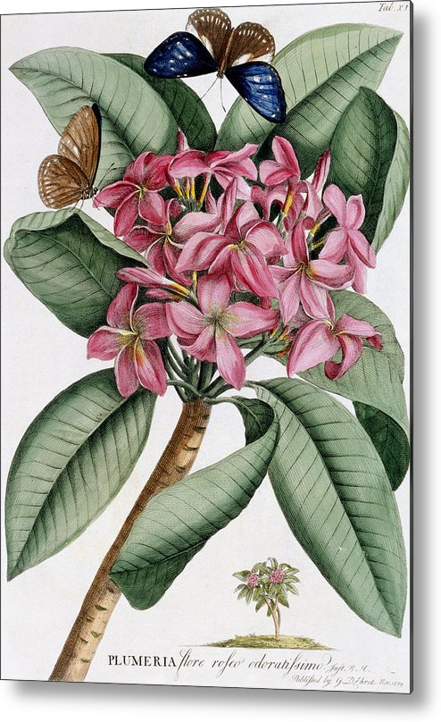 Text Metal Print featuring the painting Plumeria by Georg Dionysius Ehret