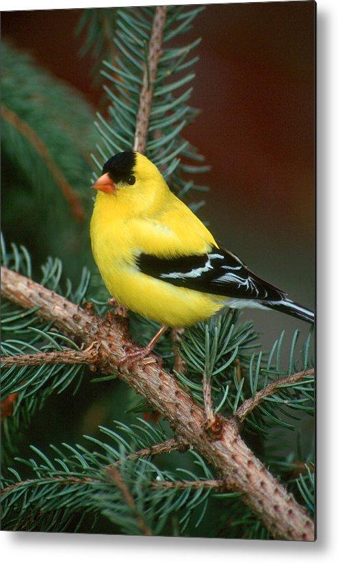 Bird Metal Print featuring the photograph American Goldfinch by Raju Alagawadi