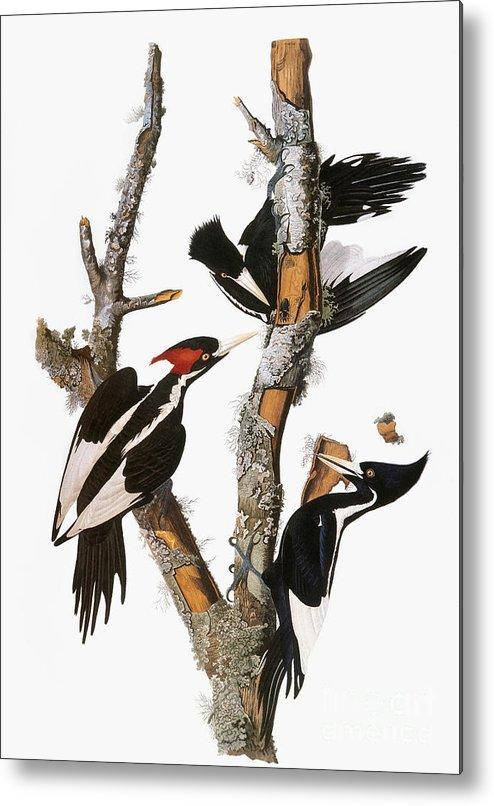 1838 Metal Print featuring the photograph Audubon: Woodpecker by Granger