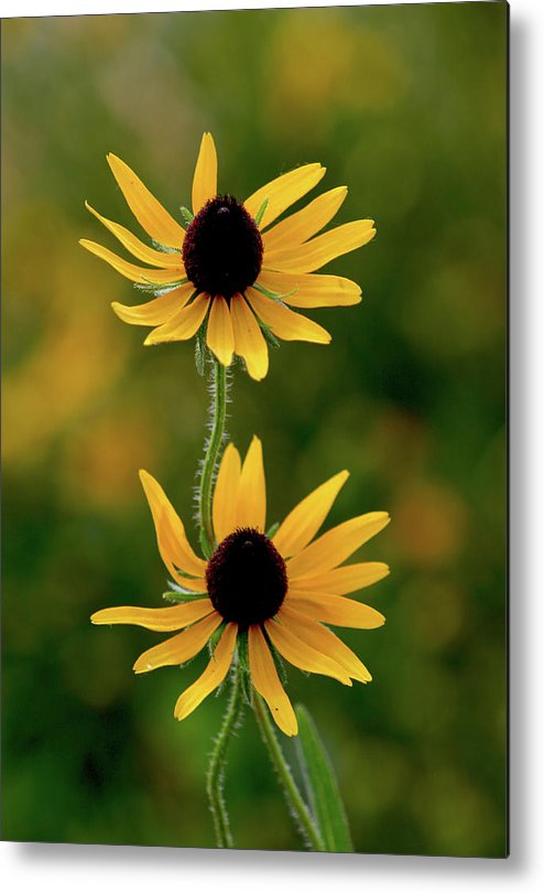 Black Eyed Susans Metal Print featuring the photograph Black Eyed Susans 3276 H_2 by Steven Ward