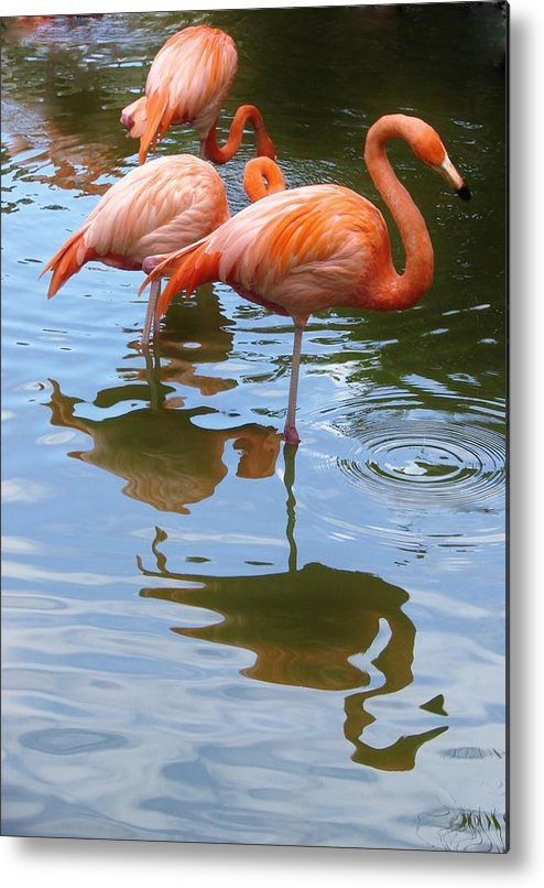 Flamingo Metal Print featuring the photograph Flamingo Reflections by Margaret Bobb