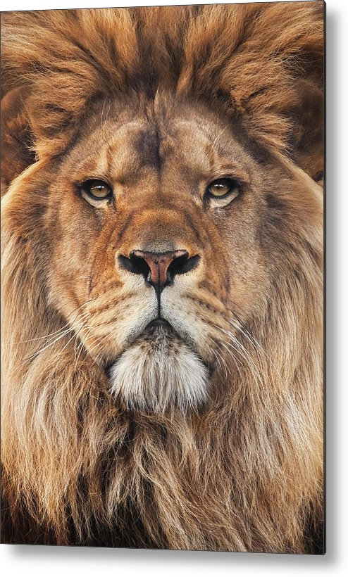 Lion Metal Print featuring the photograph Lion by Steve Mackay