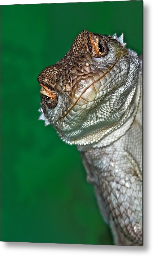 Vertical Metal Print featuring the photograph Look Reptile, Lizard Interested By Camera by Pere Soler