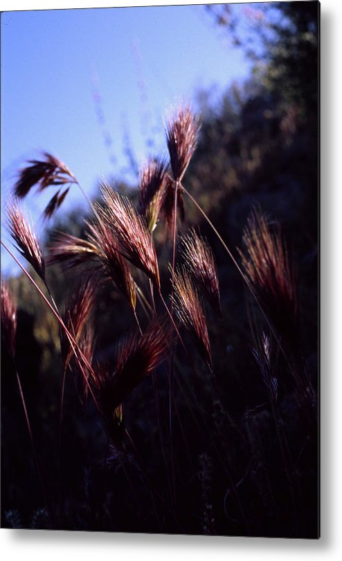 Nature Metal Print featuring the photograph Red Feathers by Randy Oberg