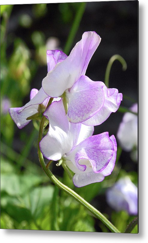 Sweet Pea Metal Print featuring the photograph Sweet Pea by Robert Shard