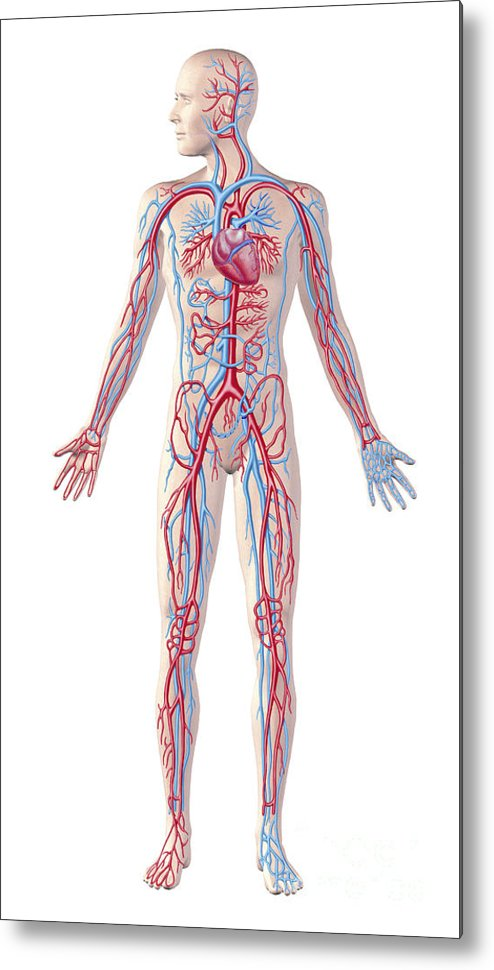 Anatomy Of Human Circulatory System Metal Print By Leonello Calvetti