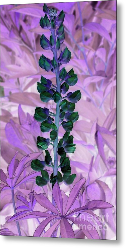 Lupine Metal Print featuring the photograph Lupine Negative by Margaret Newcomb