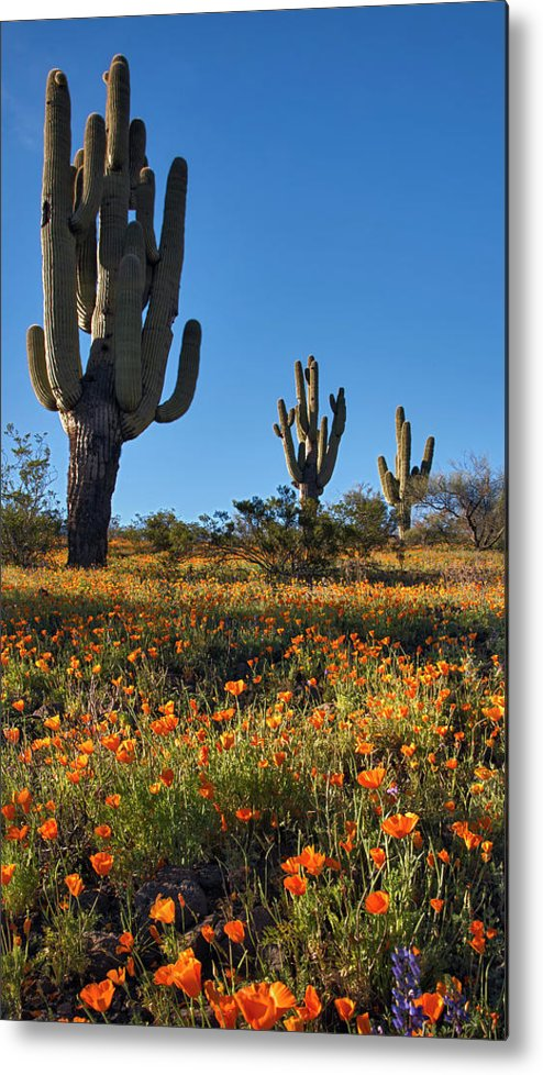 Arizona spring flowers and blossoms with saguaro cactus metal print saguaro cactus metal print featuring the photograph arizona spring flowers and blossoms with saguaro cactus by mightylinksfo
