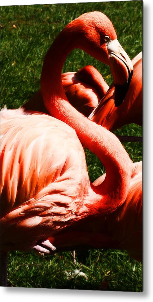 Zoo Metal Print featuring the photograph Flamingo by Milton Brugada